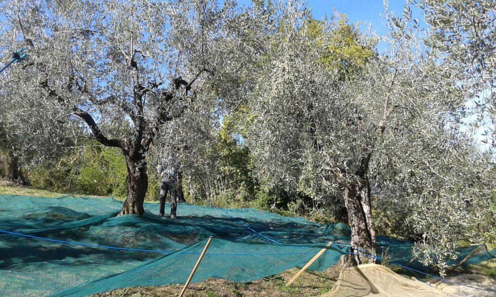 Agriturismo La Romagnana - raccolta olive