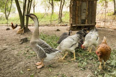 Agriturismo La Romagnana - galline