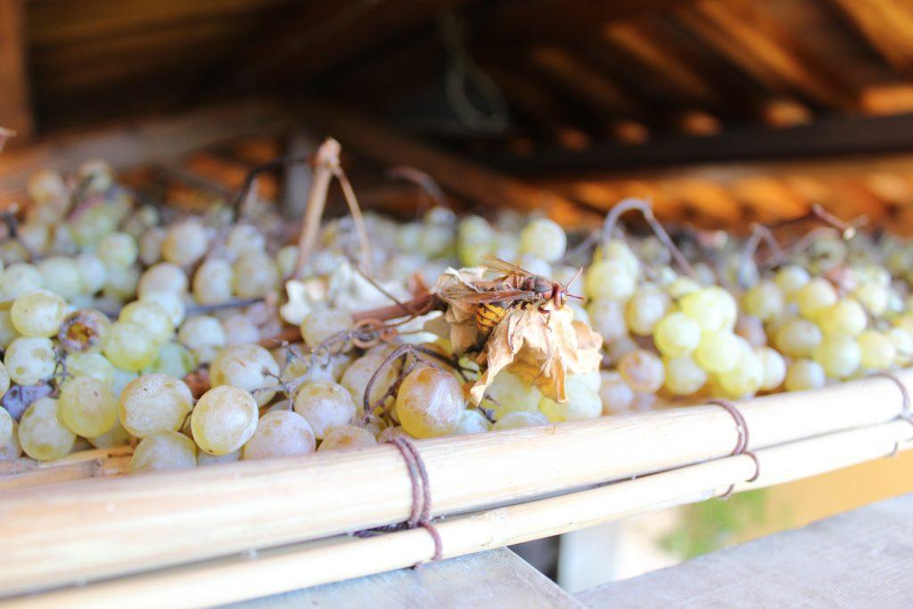 uva per vinsanto