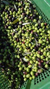 olive la romagnana